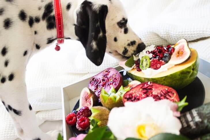black and white dalmatian puppy eating fruits